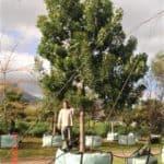Habitat-Mature-Trees-For-Sale-South-Africa-Wild-Plum-Harpephyllum-Caffrum-2000L