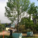 Habitat-Mature-Trees-For-Sale-South-Africa-American-Sweet-Gum-Liquidamber-2000L