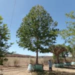 Habitat-Mature-Trees-For-Sale-South-Africa-American-Sweet-Gum-Liquidamber-Styraciflua