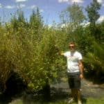 Habitat-Mature-Trees-For-Sale-South-Africa-Bamboo-Bambusa-Multiplex