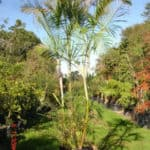 Habitat-Mature-Trees-For-Sale-South-Africa-Bamboo-Palm-Chrysalidocarpus-Lutea-100L
