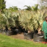 Habitat-Mature-Trees-For-Sale-South-Africa-Bismark-Palm-Bismarkia-Nobilis-200L