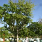 Habitat-Mature-Trees-For-Sale-South-Africa-Chinese-White-Stinkwood-Celtis-Africana 2000L
