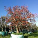 Habitat-Mature-Trees-For-Sale-South-Africa-Coastal-Coral-Erythrina-Caffra_4000L