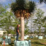 Habitat-Mature-Trees-For-Sale-South-Africa-Dragon-Tree-Draceana-Draco-1500L