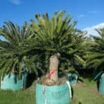 Habitat-Mature-Trees-For-Sale-South-Africa-Eastern-Cape-Cycad-Enceph-altensteinii-1000L