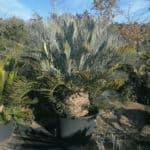 Habitat-Mature-Trees-For-Sale-South-Africa-Karoo-Cycad_Enceph-lehmanii