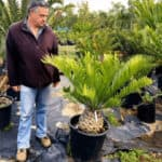 Habitat-Mature-Trees-For-Sale-South-Africa-Natal-Cycad_Encep-Natalensis-30cm