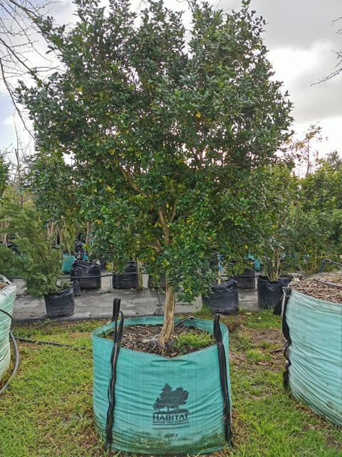Habitat-Mature-Trees-For-Sale-South-Africa-Orange-Jasmine-Murraya-Exotic-500L