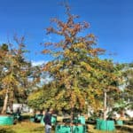 Habitat-Mature-Trees-For-Sale-South-Africa-Pin-Oak-Quercus-Palustris-2000L (2)