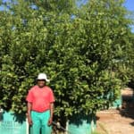 Habitat-Mature-Trees-For-Sale-South-Africa-Sweet-Viburnum-Sinensis-500L