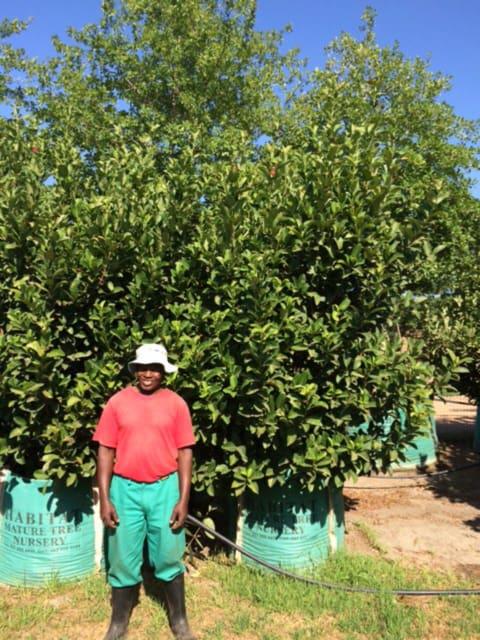 Habitat-Mature-Trees-For-Sale-South-Africa-Sweet-Viburnum-Sinensis-500L