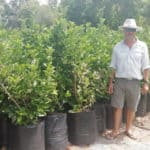 Habitat-Mature-Trees-For-Sale-South-Africa-Sweet-Viburnum-Sinensis-50L