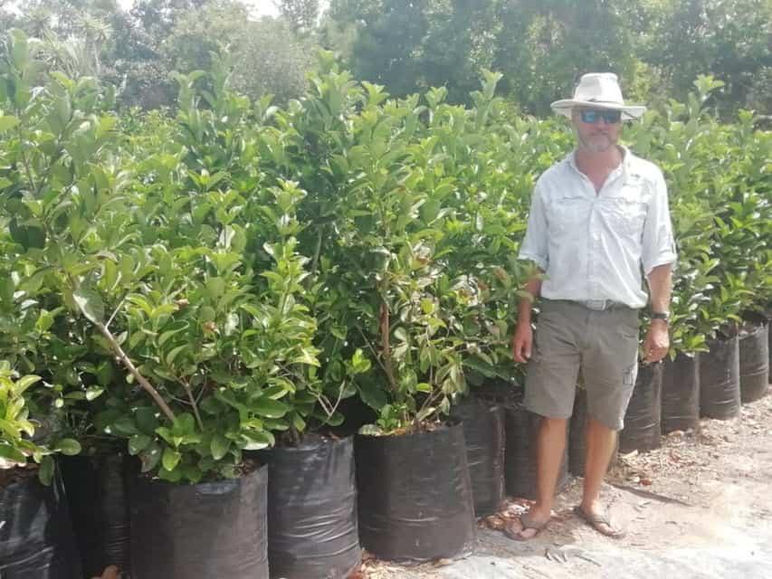Habitat-Mature-Trees-For-Sale-South-Africa-Sweet-Viburnum-Sinensis-50L