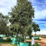 Habitat-Mature-Trees-For-Sale-South-Africa-Water-Pear-Syzigium-Guineense-1500L