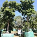 Habitat-Mature-Trees-For-Sale-South-Africa-Waterberry-Syzigium-Cordatim-2000L