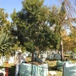 Habitat-Mature-Trees-For-Sale-South-Africa-White-Pear-Apodytes-Dimidiata-2000L