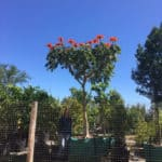 Habitat-Mature-Trees-For-Sale-South-Africa-African-Flame-Tree-Spathodea-1000L