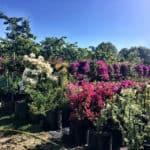 Habitat-Mature-Trees-For-Sale-South-Africa-Bougainvillea-50L