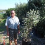 Habitat-Mature-Trees-For-Sale-South-Africa-Coastal-Silver-Oak-Brachylena-discolor