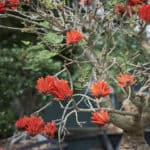 Habitat-Mature-Trees-For-Sale-South-Africa-Erythrina-lysistemon-Bonsai