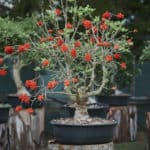 Habitat-Mature-Trees-For-Sale-South-Africa-Erythrina-lysistemon-Bonsai-Common Coral-Tree-Bonsai