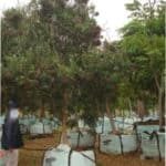 Habitat-Mature-Trees-For-Sale-South-Africa-False-Olive-Buddleja-Saligna-1000L