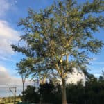 Habitat-Mature-Trees-For-Sale-South-Africa-Fever-Tree-4000L