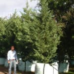Habitat-Mature-Trees-For-Sale-South-Africa-Leyland-Cypress-Cupressus-Leylandii-1000L