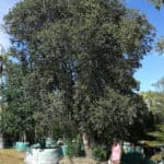 Habitat-Mature-Trees-For-Sale-South-Africa-New-Zealand-Christmas-Tree-Metrosideros-Excelsa-4000L- Y6B3