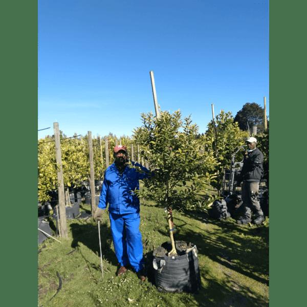 Habitat-Mature-Trees-For-Sale-South-Africa-Kumquat-Tree-70L-Tropical Fruit-Bearing-Evergreen-Tree