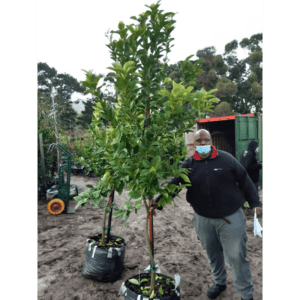 Habitat-Mature-Trees-For-Sale-South-Africa-Lemon-Lisbon-70L-Citrus-Evergreen-Tree