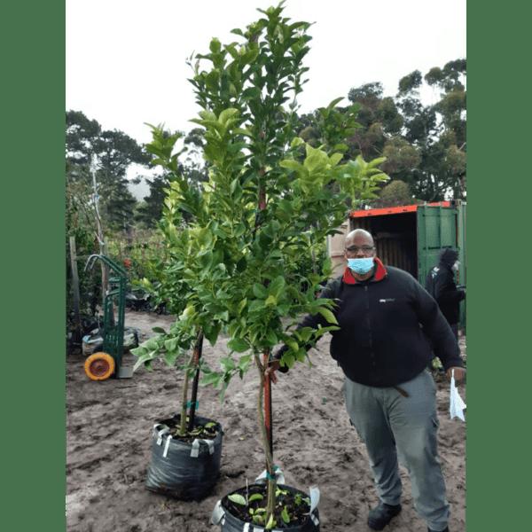Habitat-Mature-Trees-For-Sale-South-Africa-Lemon-Lisbon-70L-Citrus-Evergreen-Tree