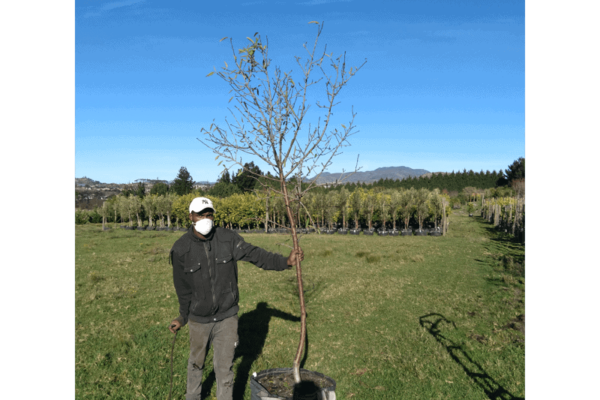 Habitat-Mature-Trees-For-Sale-South-Africa-Almond-peerless-70L