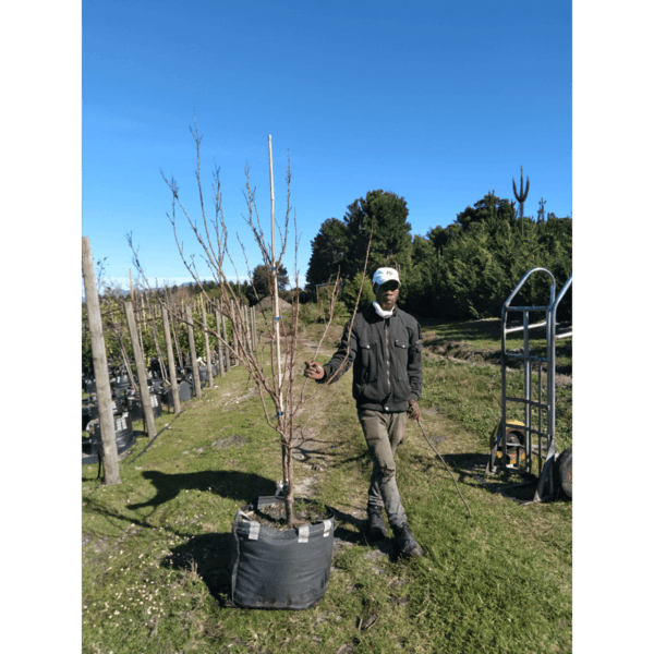 Habitat-Mature-Trees-For-Sale-South-Africa-Apricot-Bulida-70L-Spanish-Apricot-Tree