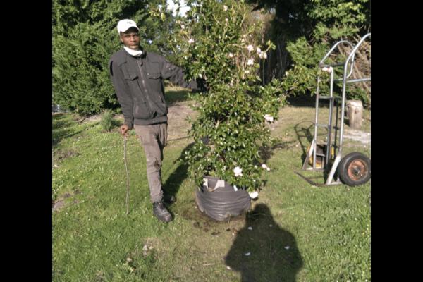 Habitat-Mature-Trees-For-Sale-South-Africa-Camellia-Sasanqua-Henrietta-70L