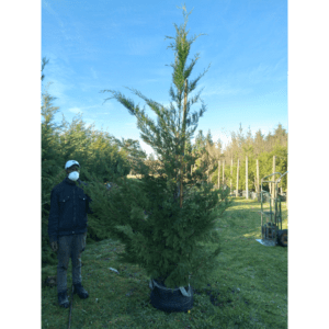 Habitat-Mature-Trees-For-Sale-South-Africa-Cupressus-Leylandii-70L-Fast-Growing-Evergreen-Tree