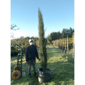 Habitat-Mature-Trees-For-Sale-South-Africa-Cupressus-Stricta-70L-Vigorous-Evergreen-Tree
