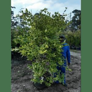 Habitat-Mature-Trees-For-Sale-South-Africa-Duranta-Gold-Mine-70L-Golden-Geen-Leaf-Shrub