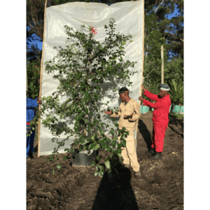 Habitat-Mature-Trees-For-Sale-South-Africa-Hibiscus-Pink-Butterfly-70L-Indigenous-Shrub