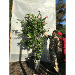 Habitat-Mature-Trees-For-Sale-South-Africa-Hibiscus-Single-Pink-70L-Tropical-Landscape-Shrub