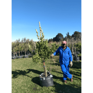 Habitat-Mature-Trees-For-Sale-South-Africa-Naartjie -Novelty-70L-Citrus-Fruit-Bearing-Tree