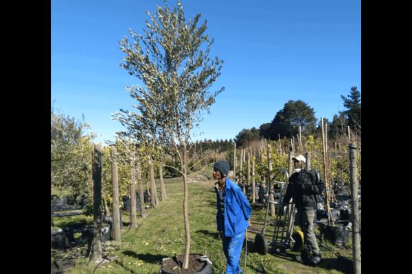 Habitat-Mature-Trees-For-Sale-South-Africa-Olive-Frantoia-70L-Evergreen-Olive-Trees