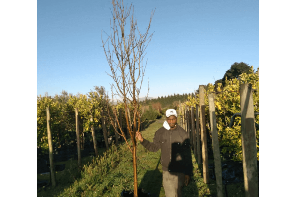 Habitat-Mature-Trees-For-Sale-South-Africa-Pear-Forelle-70L-Yello-Bell-Shaped-Fruit-Bearing-tree