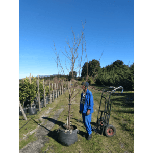 Habitat-Mature-Trees-For-Sale-South-Africa-Plum-Santa-Rosa-70L-Vigorous-Growing-Fruit-tree