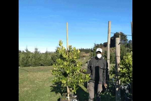 Habitat-Mature-Trees-For-Sale-South-Africa-Thai-Lime-Tree-70L-Tropical-Citrus-Fruit-Bearing-Tree